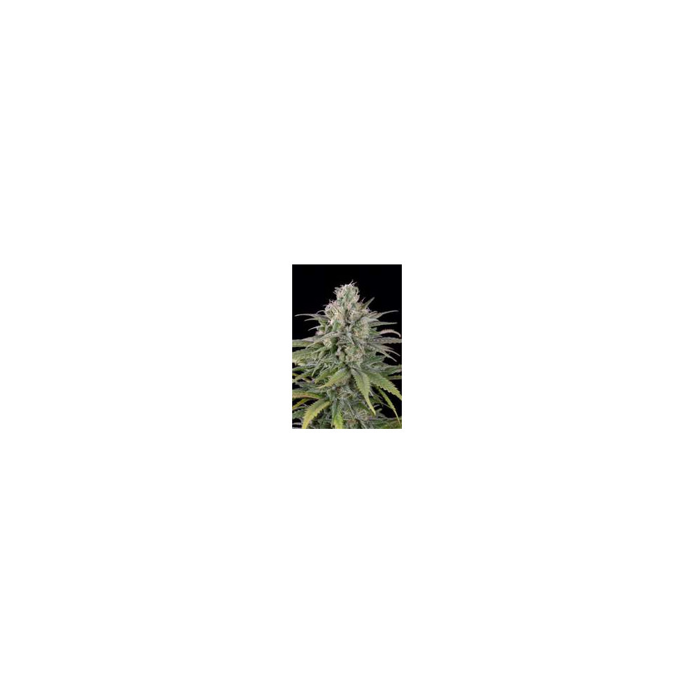 UK Cheese Auto 3 seeds by...